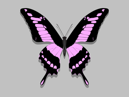 Large Butterfly with black wings and pink patterns.
