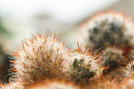cactus with large needles, spines, close up