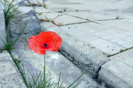 Scarlet poppy bloem ontsproten door betonnen platen bij de goot Stockfoto