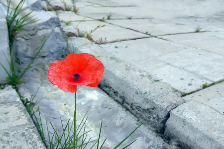 Scarlet poppy flower sprouted through concrete slabs at the gutter Imagens