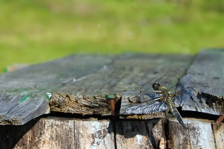 Dragonfly sits on boards on the background of trees Imagens