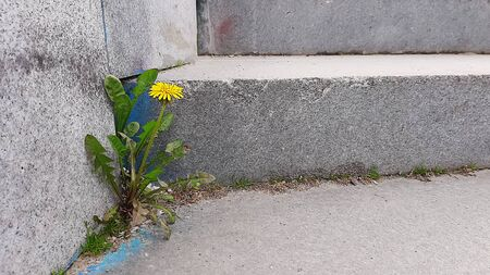 Several dandelion flowers grow between concrete slabs. Urban space. Фото со стока