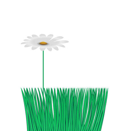 chamomile flower over smooth green grass, lawn, individuality concept, isolate