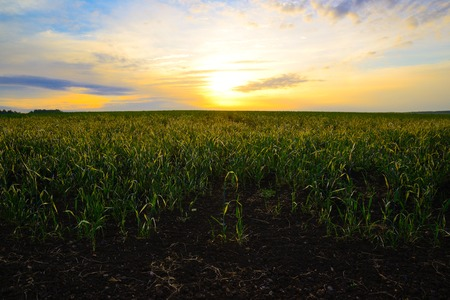 Young growing oats shimmering in the rays of the rising Sun Stock Photo