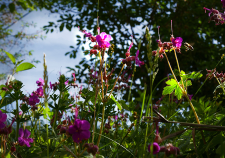 Bee collects nectar. Geranium and grass in backlight with an optical filter. Stock Photo