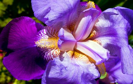Flowering irises in the home garden.