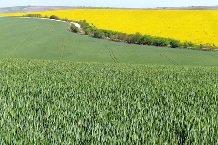 The road passes between wheat fields and rape levels.