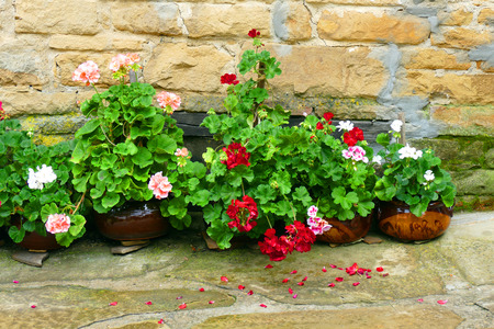 Pelargonium in front of a stone wall of a country house. Reklamní fotografie