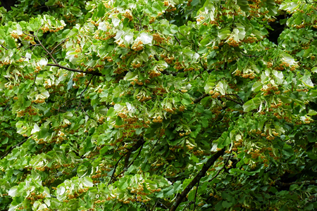 Lime tree with blossoming linden blossom.