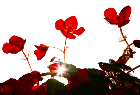 Red flower in backlight. begonias