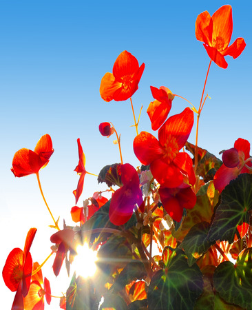 Red flower - begonias in backlight. Reklamní fotografie