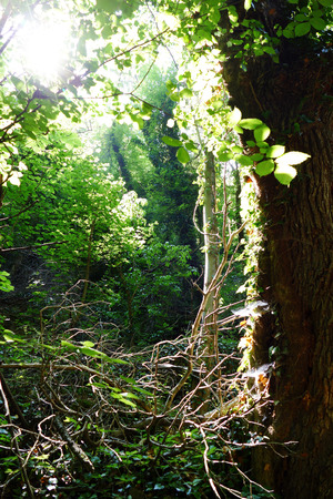 Summer in a thick forest with fresh green leaves. Sunlight passes through the branches of the trees.