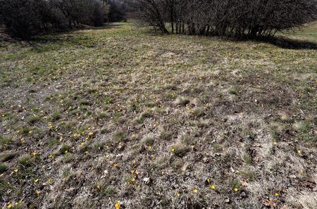 Spring is. Meadow with crocuses bloom.