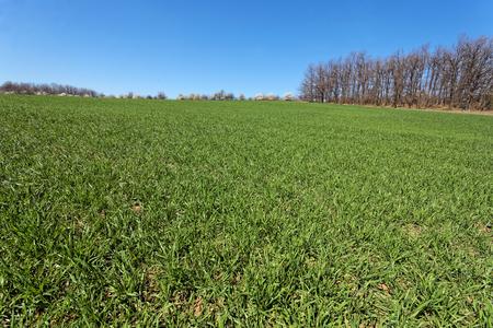 A field of young wheat. Sunny spring day. Reklamní fotografie - 110008078