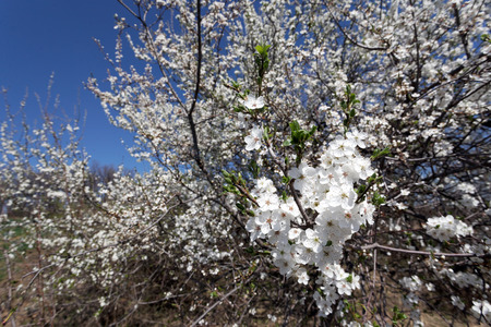 Flowering plum. Sunny warm spring day.