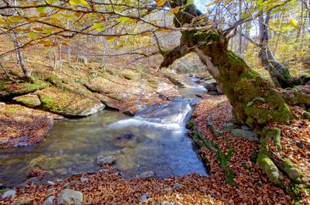 Old beech tree over mountain stream. Autumn landscape.