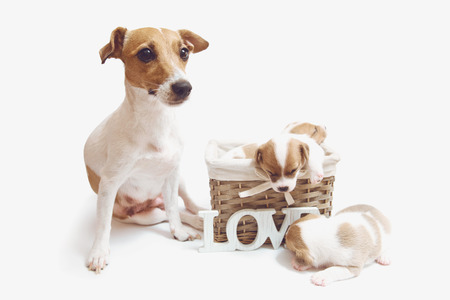 Cute puppies in a basket with their mom isolated on white background