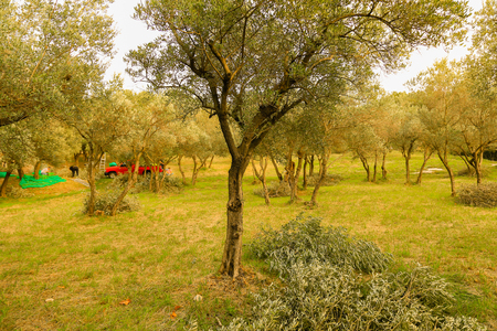 onsite: picking olives