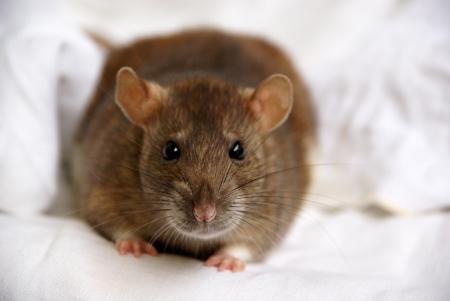 A pet rat Stock Photo - 14993601