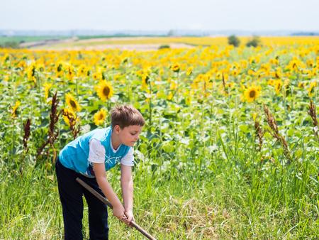 Little boy using rakes in the sunflower field in summer.