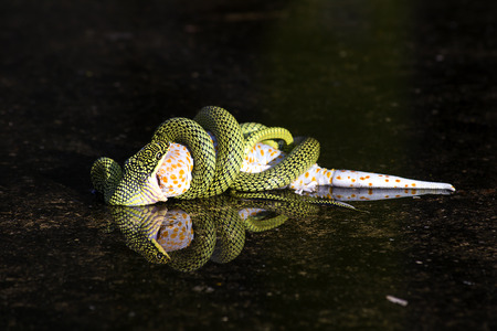 hunted: Snake trying to eat a lizard on the water under the shadows