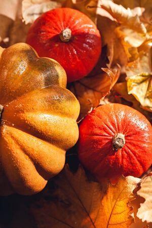 Banner of Thanksgiving pumpkins on autumn dry foliage. Stock photo of a solar pumpkin - Harvest / Thanksgiving Concept. Standard-Bild - 133243972