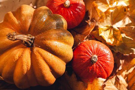 Banner of Thanksgiving pumpkins on autumn dry foliage. Stock photo of a solar pumpkin - Harvest / Thanksgiving Concept. Standard-Bild - 133243960