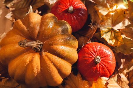 Banner of Thanksgiving pumpkins on autumn dry foliage. Stock photo of a solar pumpkin - Harvest / Thanksgiving Concept. Standard-Bild