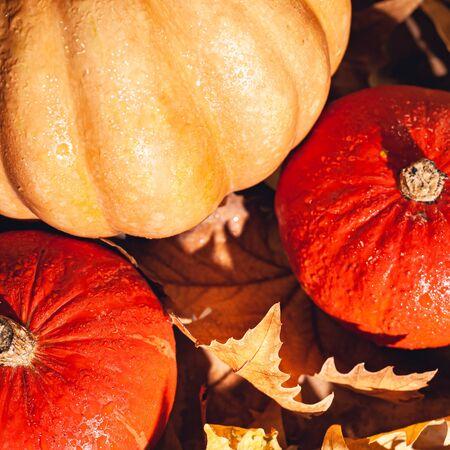 Banner of Thanksgiving pumpkins on autumn dry foliage. Stock photo of a solar pumpkin - Harvest / Thanksgiving Concept. Standard-Bild - 133243823
