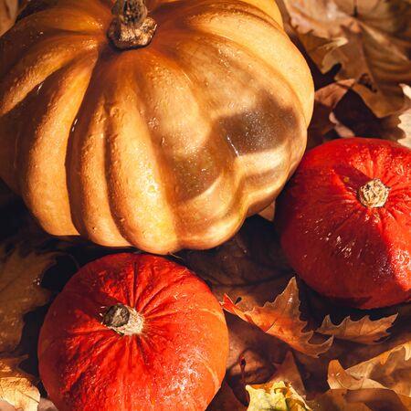 Banner of Thanksgiving pumpkins on autumn dry foliage. Stock photo of a solar pumpkin - Harvest / Thanksgiving Concept. Standard-Bild - 133243949