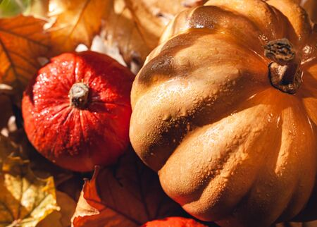 Banner of Thanksgiving pumpkins on autumn dry foliage. Stock photo of a solar pumpkin - Harvest / Thanksgiving Concept. Standard-Bild - 133244101