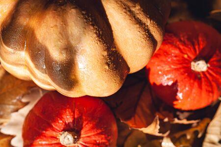 Banner of Thanksgiving pumpkins on autumn dry foliage. Stock photo of a solar pumpkin - Harvest / Thanksgiving Concept. Standard-Bild - 133243884