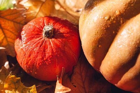 Banner of Thanksgiving pumpkins on autumn dry foliage. Stock photo of a solar pumpkin - Harvest / Thanksgiving Concept. Standard-Bild - 133243906