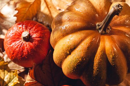 Banner of Thanksgiving pumpkins on autumn dry foliage. Stock photo of a solar pumpkin - Harvest / Thanksgiving Concept. Standard-Bild - 133243951