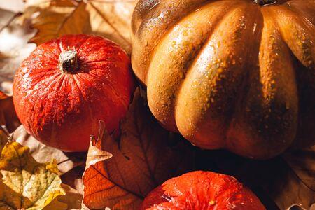 Banner of Thanksgiving pumpkins on autumn dry foliage. Stock photo of a solar pumpkin - Harvest / Thanksgiving Concept. Standard-Bild - 133243967