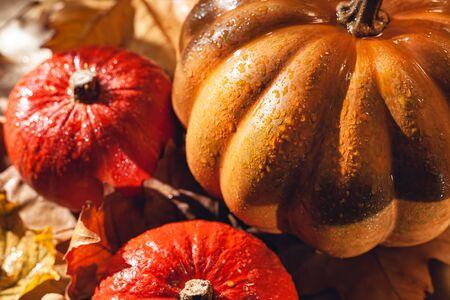 Banner of Thanksgiving pumpkins on autumn dry foliage. Stock photo of a solar pumpkin - Harvest / Thanksgiving Concept. Standard-Bild - 133243898