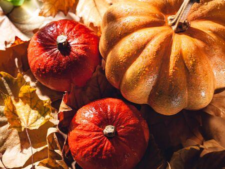 Banner of Thanksgiving pumpkins on autumn dry foliage. Stock photo of a solar pumpkin - Harvest / Thanksgiving Concept. Standard-Bild - 133244545