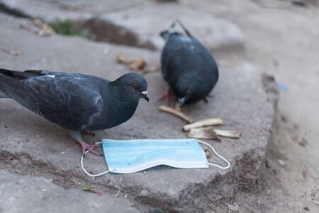 Medical mask and bird of the world. Dove and medical mask. The concept of nature pollution and the transmission of infection through birds. Global problems of coronavirus. 版權商用圖片
