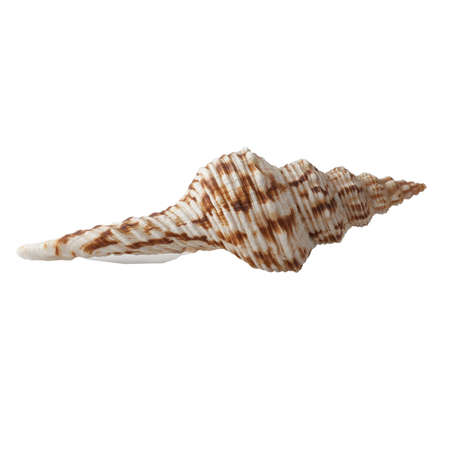 Seashell isolated on white background. Banque d'images