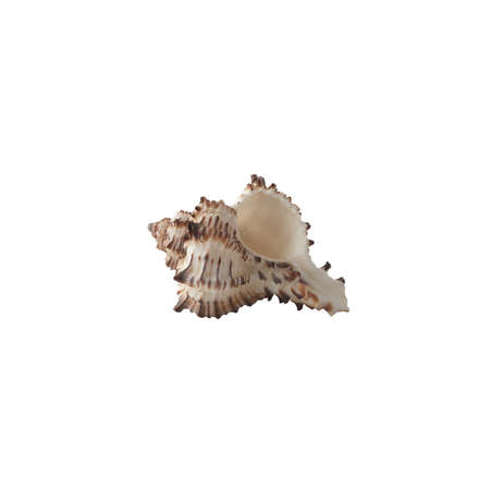 Seashell isolated on white background. Shell for design.