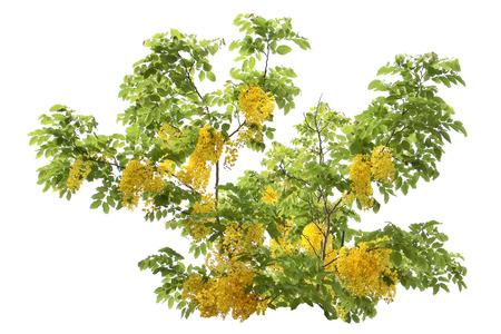 yellow flower tree: Yellow flower tree isolated. Stock Photo