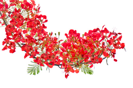 flamboyant: Red flower bush isolated.
