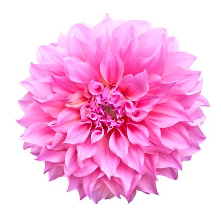 jardines con flores: Dalia flor rosa sobre fondo blanco aisladas