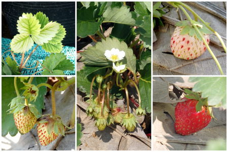 strawberry tree: Strawberry tree, flower and fruit farming