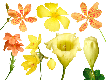 showy: Set of colorful flower isolated, full bloom flora spring season (Yellow Showy chalicevine) orange orchid