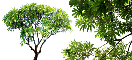 shrubbery: Green fresh leaf on center group branches, white background isolated. (Temple Tree, West Indian Jasmine, Pagoda Tree)