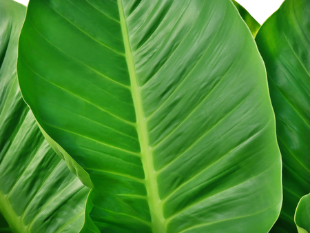 fern  large fern: Big flat leaf background, glossy green line natural texture, fresh palm tree surface, leafy plant banner, large fern foliage backdrop Stock Photo