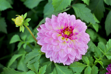 Big pink dahlia with red petal, small yellow bud and green leaves on black background Stock Photo