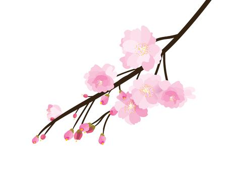 Full bloom sakura flower tree isolated, pink japan flora bush, spring floral branch on white background. Treetop of Cherry blossom petal leaf vector. Illustration