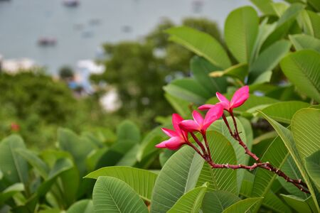 view: Pink plumeria top view with sea  Stock Photo